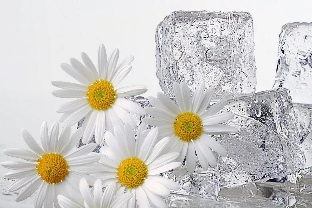 Умывание ромашкой: настоем для лица, кубиками льда, ополаскивание ...