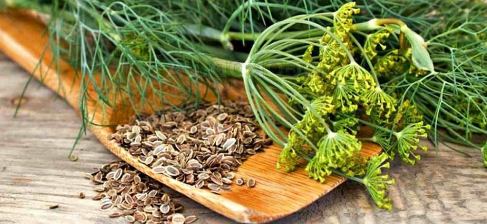 Укропное семя: лечебные свойства и противопоказания для ...
