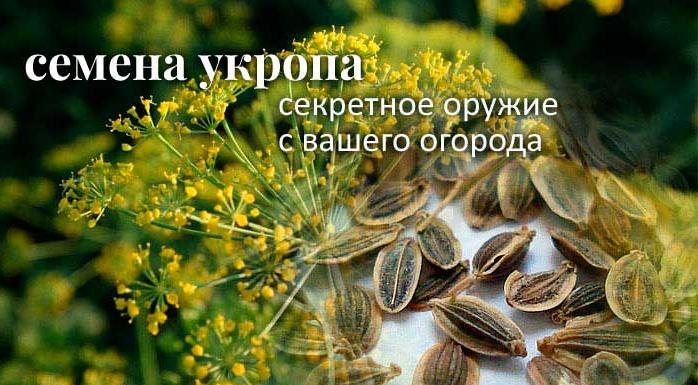 Семена укропа. Полезные свойства. Лечение. Применение ...