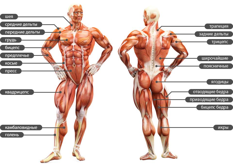 Функции и строение мышц. Виды мышечных волокон. Адаптационные ...