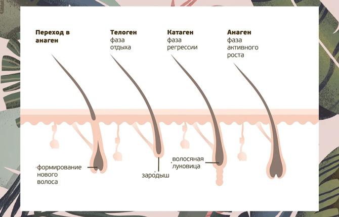 Фазы роста волос